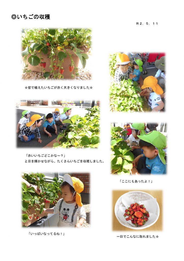 宇都宮市_小規模保育園_いちごの収穫