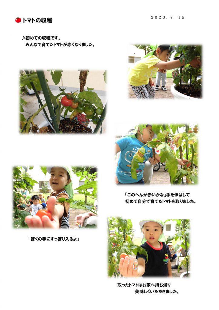 宇都宮市小規模保育園_トマトの収穫