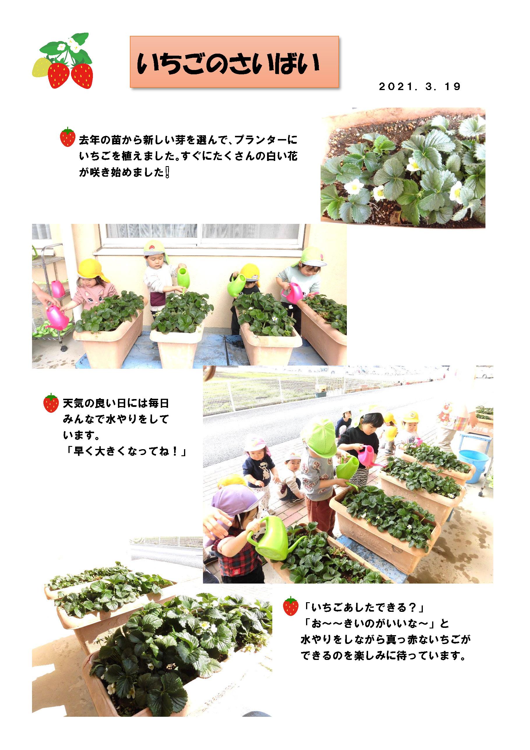 宇都宮市小規模保育園_イチゴの栽培