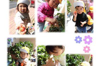 イチゴを摘みました